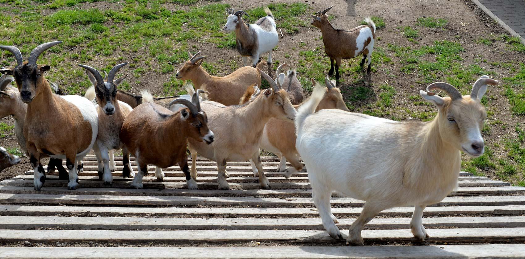 Miniature mountain goats