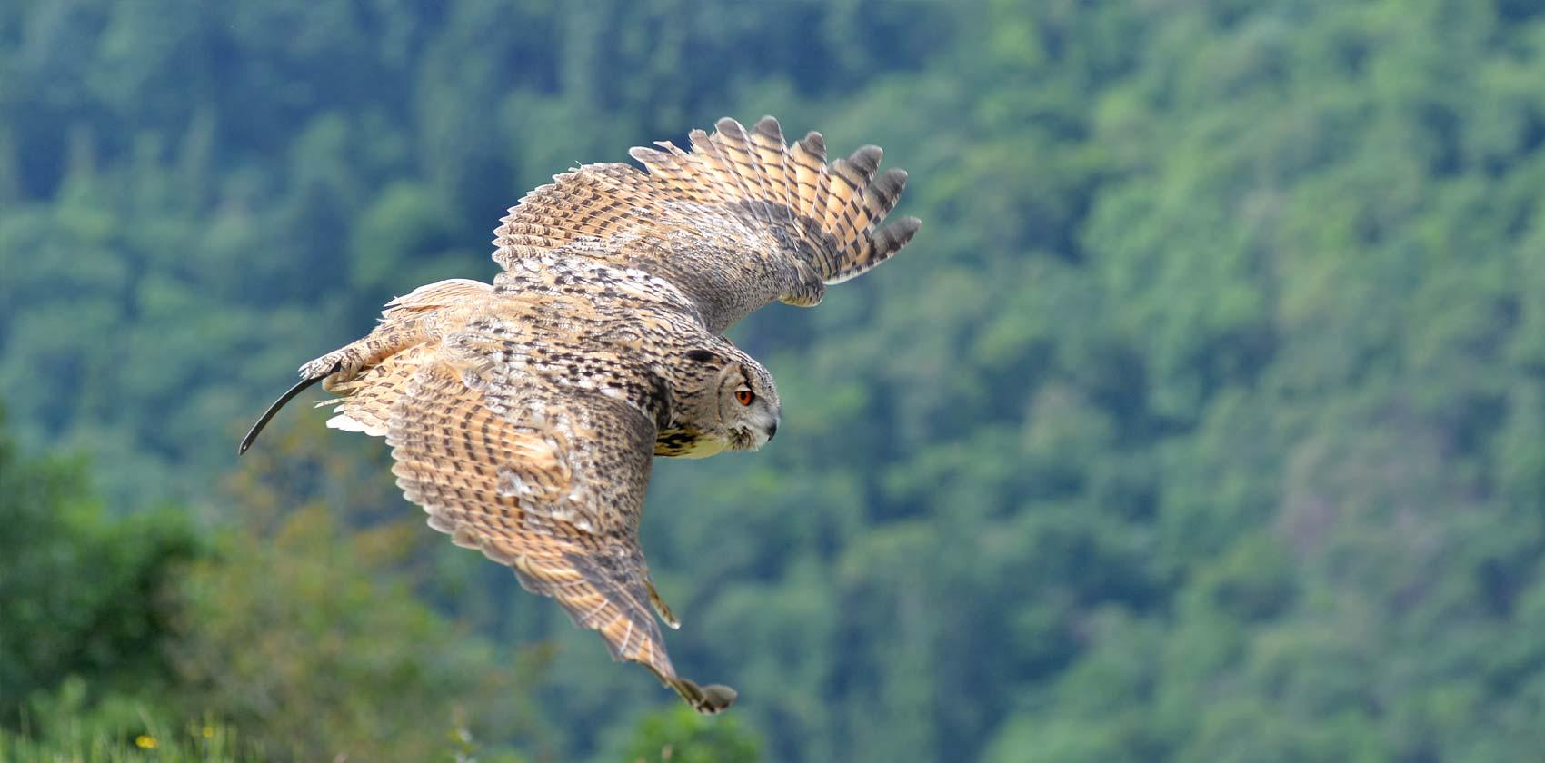Birds of preys and flightdisplays