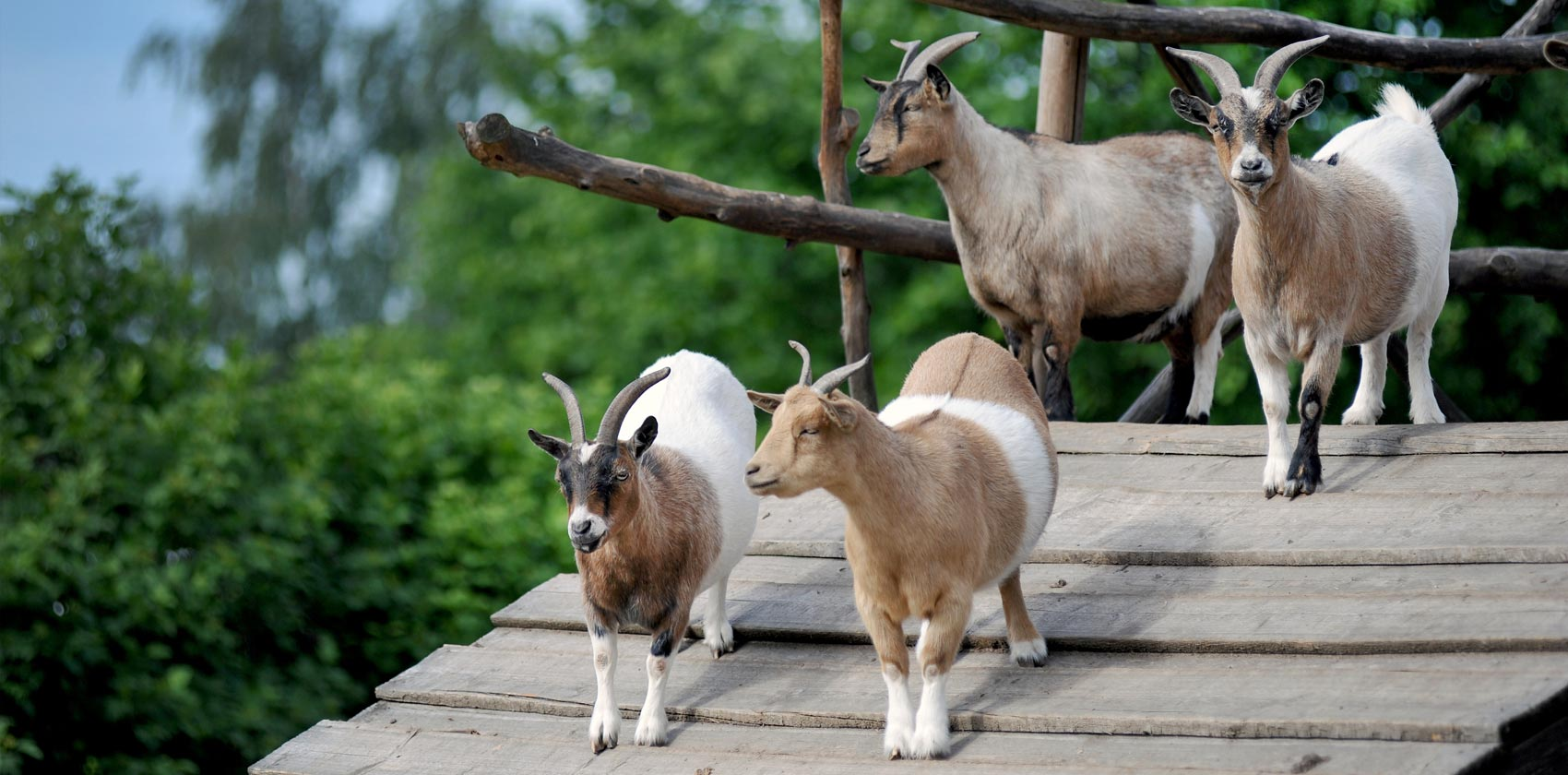 Miniature mountain goats